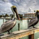 Feeding Pelicans Can Kill the Birds